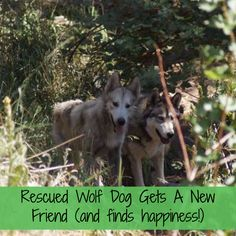This wolf dog had a hard time after being rescued, but once a friend was brought into the mix, things changed for the better! Great rescue story with a happy ending :)