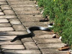 Get Rid of Snakes in the Yard is part of Garden snakes - Snakes freak most people out One slithering under your doorstep or worse loose in your house ACK Here are the methods to deal with the situation Garden Yard Ideas, Lawn And Garden, Rusty Garden, Garden Boxes, Container Garden, Herb Garden, Moles In Yard, Get Rid Of Groundhogs, Snake Repellant