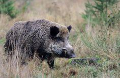 Wildschweinkeiler sucht Nahrung auf einer Waldlichtung - (Schwarzkittel - Wildschwein), Sus scrofa, Wild Boar tusker searching for food on a forest glade - (Wild Hog - Feral Pig)