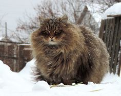Siberian Cat - how much would i love to cuddle this guy!
