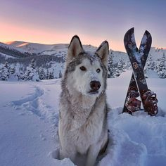 Meet Loki, a wolf-dog hybrid who proves that dogs aren't man's only best friend. Loki, a low-content wolfdog who's a husky/Arctic wolf/malamute mix, goes Alaskan Malamute, Loki, Arktischer Wolf, Colorado Snow, Arctic Wolf, Education Canine, Adventure Photos, Tier Fotos, Dog Cat