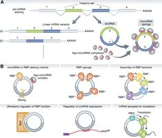 Biogenesis and functions of circular RNAs. (A) A gene can be transcribed and spliced into linear and circular RNAs. Note the unique 'head-to-tail' splice junctions formed by an acceptor splice site at the 5′ end of an exon and a donor site at the 3′ end of a downstream exon. A demonstrated role for circRNAs is to act as a microRNA sponge. (B) Pictograms of additional plausible options for circRNA function. Source: The EMBO Journal