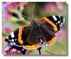Red Admiral-does not hibernate in Scotland-sometimes flies at wingspan- found feeding on garden Buddleias, Michaelmas Daisy or flowering Ivy and rotting fruit in gardens and orchards during late summer/early autumn, sometimes in large numbers. Michaelmas Daisy, Early Autumn, Orchards, Watercolour Art, Flora And Fauna, Late Summer, Ivy, Florals, Butterflies