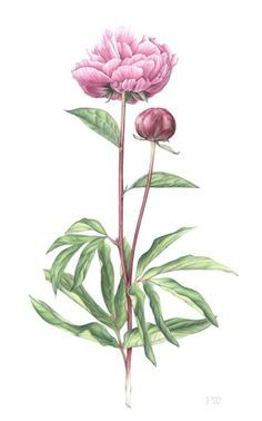 Pink Peonies - Painting of Flowers by Surrey Botanic Artist Fiona Wheeler - Specialist in Painting Botanic Subjects - member of The Society of Floral Painters. Exhibits with Guildford Art Society & accepts private commissions