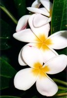 Pikake Flower - love this fragrance...maybe add it into the centerpiece for fragrance?