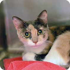 Pictures of 10311640 a Domestic Shorthair for adoption in Brooksville, FL who needs a loving home.