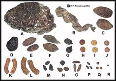 Rocky Mountain Animal Scat:  A. Black Bear B. Coyote C. Moose  D. Elk E. Mule Deer F. Marmot   G. Bighorn Sheep H. Snowshoe Hare   I.  Jackrabbit J. Cottontail  K. Ptarmigan L. Dusky Grouse   M. Ground Squirrel (Spermophilus richardsonii) N. Chickaree O. Woodrat   P. Chipmunk Q. Pika R. Little Brown Bat