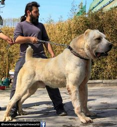 Corso on Attack mood . Giant Dogs, Big Dogs, Dogs And Puppies, Mastiff Breeds, Mastiff Dogs, Bullmastiff, Alabai Dog, Kangal Dog, Rare Dogs
