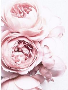 - Blush Pink And White Peony/ Decor Wall Cloth High Quality Canvas Print . - – Blush Pink And White Peony/ Decor Wall Cloth High Quality Canvas Print Art Gift - Trendy Wallpaper, New Wallpaper, Pink Flower Wallpaper, Bedroom Wallpaper, White Wallpaper, Print Wallpaper, Wallpaper Pictures, Pink Roses, Pink Flowers