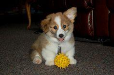 Fluffy Corgi Puppy