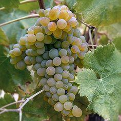 Essa é uma uva muito plantada em Portugal. Vale a pena conhecê-la! Estudiosos acreditam que essa casta teve origem no oeste de Portugal, onde ficam as regiões de Vinho Verde, Bairrada e Tejo. Na região de Vinho Verde, aliás, a Arinto é conhecida pelo seu sinônimo Pedernã.