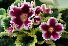 African violet-Saintpaulia - LE - Karusel - plant - Ukrainian Variety!
