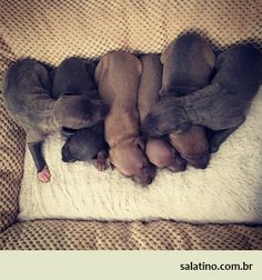 Italian Baby Sandwich  #dog #salatino #clubesalatino #canil #perro #dogs #cute #love #nature #animales #dog #ilovemydog #ilovemypet #cute #galgos #greyhound #galgoespanhol #galgo