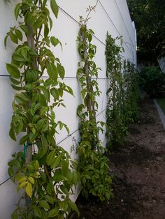 Pandorea jasminoides creepers to be trained along stainless steel cable climbing supports.clean, simple and long lasting! Stainless Steel Cable, Creepers, Business Design, Landscape Design, Climbing, Landscaping, Simple, Plants, Rock Climbing