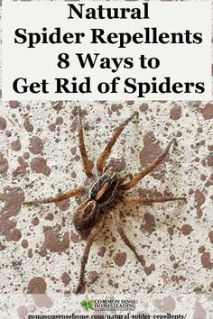 Natural Spider Repellents - 8 Ways to Get Rid of Spiders Natural Spider Repellents - 8 Ways to Get Rid of Spiders, including a spider spray, plus 5 Tips to Reduce the Number of Spiders in Your Home. Keep Spiders Away, Get Rid Of Spiders, How To Repel Spiders, Scary Spiders, Bug Control, Pest Control, Natural Spider Repellant, Spider Spray, Spider Webs