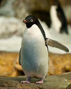 Adelie Penguin (captive)