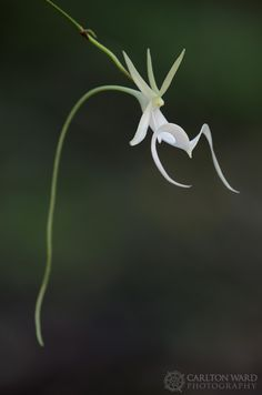 Ghost Orchid, wild orchid native to Florida