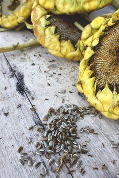 Fresh sunflower seeds