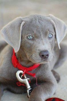 Silver Labmaraner - cross between a Labrador and weimaraner -\ So adorable! <3 blue eyes