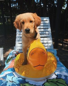Golden Retriever Puppies – 5 Things To Search For When Purchasing A Puppy Cute Baby Animals, Animals And Pets, Funny Animals, Cute Dogs And Puppies, I Love Dogs, Doggies, Chihuahua Dogs, Cute Creatures, Mellow Yellow