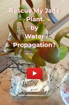 My Jade Plant has had stem rot and I have tried everything to rescue her. My final attempt with the remaining stems is via Water Propagation.  See my journey with my Jade Plant (Crassula Ovata) #houseplants #waterpropagation #jadeplant #stemrot