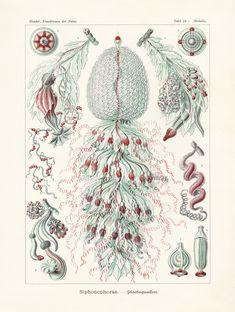 Art Forms of Nature - Siphonophorae - Ernst Haeckel Artwork (Art Prints, Wood & Metal Signs, Canvas, Tote Bag, Towel) Posters Vintage, Retro Poster, Print Poster, Stock Art, Wassily Kandinsky, Gustav Klimt, Monet, Nature Prints, Art Prints
