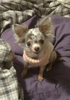 Chiwawa, Chihuahua Love, Small Dogs, Cute Animals, Teddy Bear, Puppies, Chihuahuas, Animal Prints, Teacup