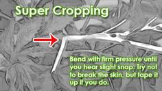 Super cropping marijuana - the short explanation. Do this to all main branches that are still bendy, before the flowering stage. In response, plant will grow a 'knot' that allows her to transport more water and nutrients. Marijuana plants react to super cropping by getting bushier and producing more bud sites.    Full tutorial here: http://growweedeasy.com/how-to-super-crop-marijuana