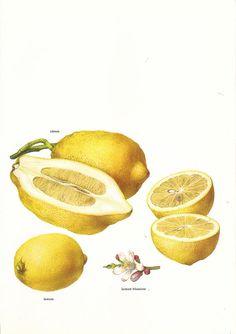 Vintage 1960s Lemon Color Illustration Book Page to by niminsshop, $10.00