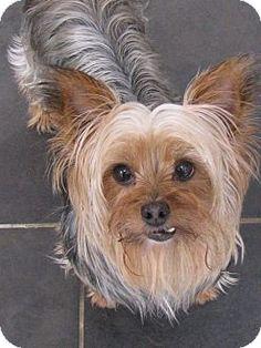Baton Rouge, LA - Yorkie, Yorkshire Terrier. Meet Queenie a Dog for Adoption.