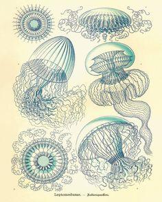 Jellyfish Vintage prints old prints Nautical art print Ocean Decor Natural History sea life art antique prints nature print 8x10 art print