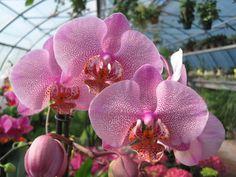 Orchidea leopardata