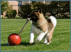 Akita. #dog #akita #animal I want to get one of these toys for Evie pie!