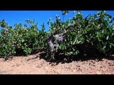Our Signature Variety: Chenin Blanc - YouTube