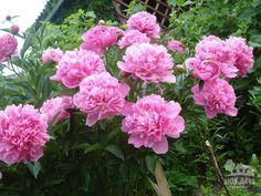 С какими цветами сочетаются пионы!!!   Дачники