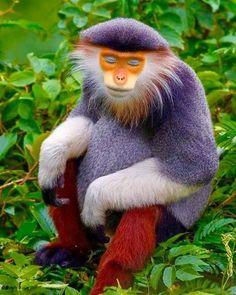 Primates, Mammals, Rare Animals, Animals And Pets, Beautiful Creatures, Animals Beautiful, Laos, Jellicle Cats, Orangutan