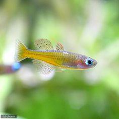 (熱帯魚)シュードムギルsp.ティミカ