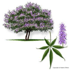 Vitex - Fast growing, drought tolerant tree with fragrant flowers Dry Garden, Garden Trees, Garden Plants, Small Landscape Trees, Small Trees, Landscape Design, Trees And Shrubs, Trees To Plant, Texas A&m