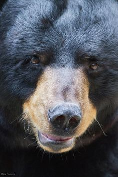 Black Bear Face (by Mark Dumont)