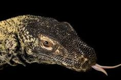 Image result for komodo dragon tongue