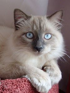 Beautiful Blue Eyed Siamese Cat