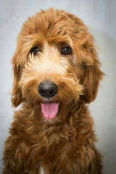 Service Dogs, Goldendoodles, Animals, Dog Lovers, Bear, Animales, Animaux, Animal, Bears