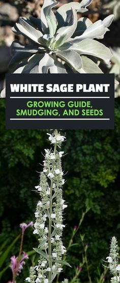 white gardens White Sage: Traditional Uses and How To Grow It At Home White sage (salvia apiana) is a wonderful plant for cooking, medicinal use, and smudging. Learn exactly how to grow, cultivate, and harvest in this guide. Growing Herbs, Growing Vegetables, Sage Plant, Outdoor Shade, Organic Gardening, Herb Gardening, Gardening Vegetables, Container Gardening, Greenhouse Gardening