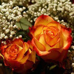 Gambar bunga mawar kuning strip merah