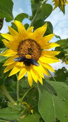 Bee on sunflower. Sunflower Hearts, Sunflower Flower, Sunflower Fields, Beautiful Flowers, Beautiful Places, Growing Sunflowers, Container Flowers, Annual Plants, Fall Harvest