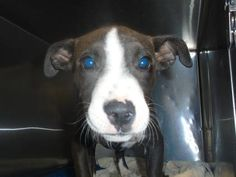 Unknown Outcome 35437115 Species Dog Breed Terrier, American Pit Bull/Mix Age 1 month 26 days Gender Male Size Small Color Black/White Site Department of Animal Services, City of El Paso Location Sally Port Intake Date 5/23/2017
