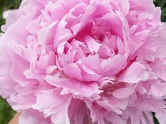 458. Peony pink | Flickr - Photo Sharing!