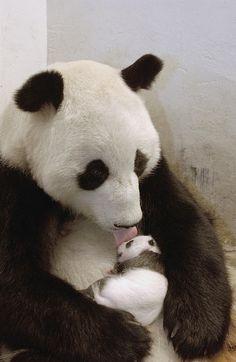 newborn baby panda bear - Pesquisa Google