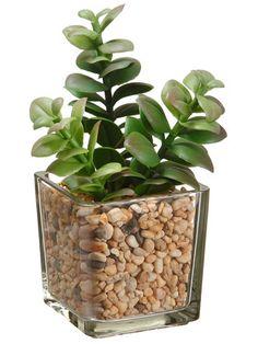 """Jade Plant 6.5"""" in Glass Vase Green"""