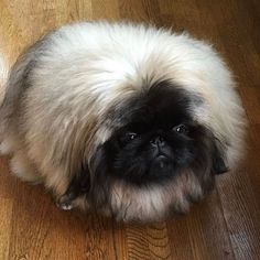 #hundeliebe #pekingese #hund Collie, Pekingese, Instagram, Dogs, Animals, I Love Dogs, Animales, Animaux, Pet Dogs